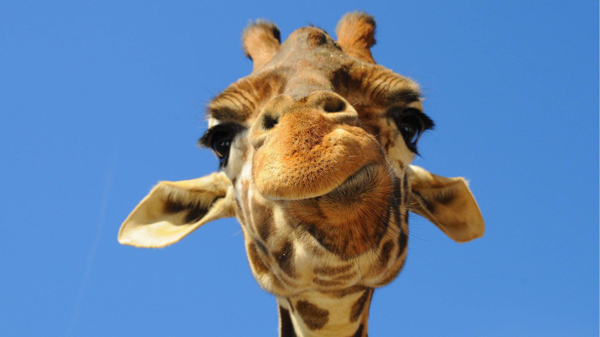 embracing my giraffe obsession